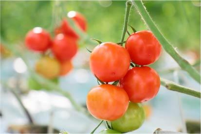 色が変わり始めたトマトイメージ
