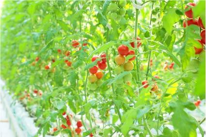 ハウス内のトマトイメージ